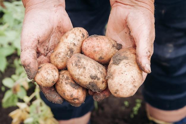 할머니의 손에 갓 개봉 한 감자를 손에 들고 할머니는 새 감자를 손에 들고 계십니다.