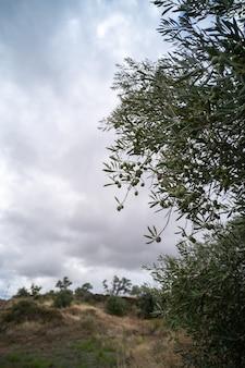Оливковая ветвь со спелыми оливками и город на заднем плане