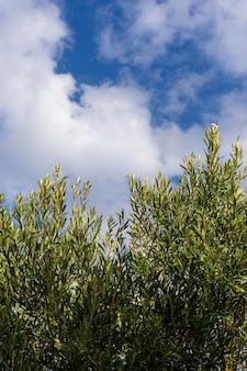 オリーブと雲と青い空とオリーブの木