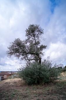 Оливковое дерево со спелыми оливками и город на заднем плане