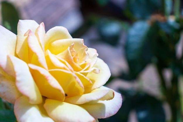 В саду растет раскрытый белый бутон белой розы