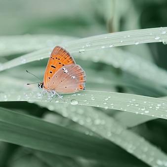 オレンジ色の蝶が朝露、昆虫、野生動物、春で覆われた草の上に座っています。