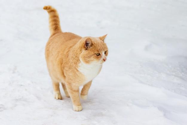 オレンジ色の猫が冬に雪の中を歩く_