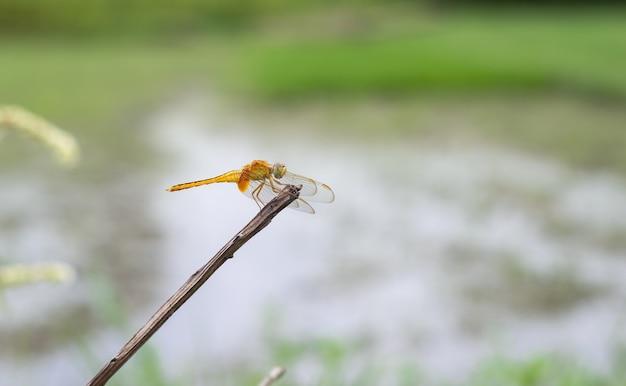Оранжевая стрекоза с прозрачными крыльями покоится на стволе мертвого дерева, изолированном на размытом фоне