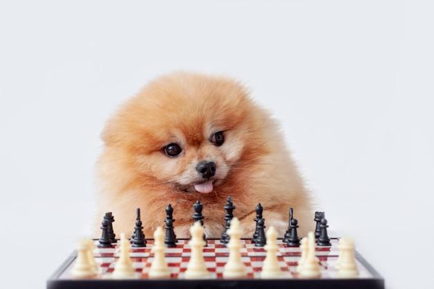 주황색 포메라니안 개는 흰색 배경에 체스판 옆에 앉아 있습니다.