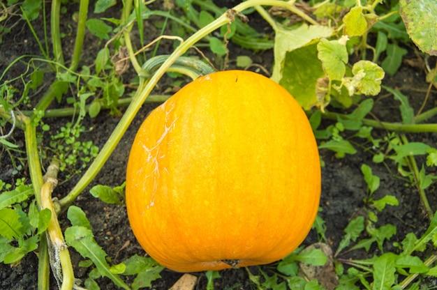 緑の葉のベッドにあるオレンジ色のカボチャは、収穫の準備ができています。典型的な秋のシーン