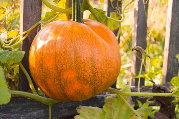 古い柵を背景に緑の葉のベッドの上にオレンジ色のカボチャ。収穫の準備が整いつつあります。典型的な秋の田園風景。