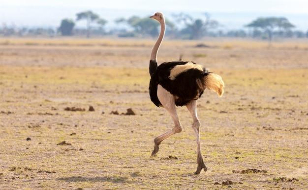 Страус бежит на сафари в кении