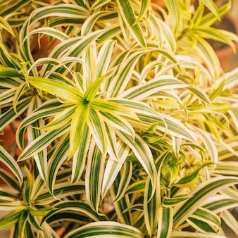 Вид сверху на зеленые и белые листья комнатного растения