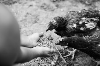 An overhead view of hens feeding grain from the hands
