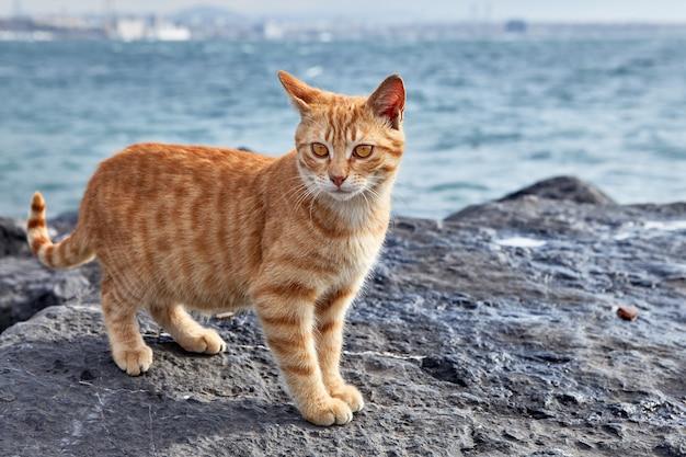 스트라이프 생강 고양이는 터키 이스탄불 골든 혼 베이의 해안 절벽에 선다