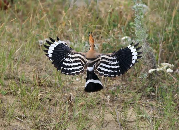 飛んでいるヤツガシラの珍しい表情。翼を広げた背面図