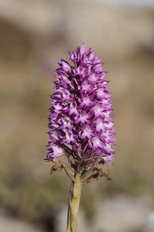 Пирамидальная орхидея anacamptis pyramidalis соцветие
