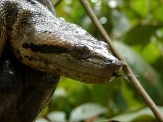 Anaconda in tree, threat