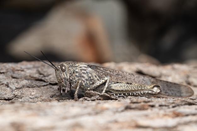 Anacridium aegyptium, the egyptian grasshopper or egyptian locust