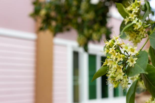 Anan, tembusu flower (fagraea fragrans roxb.)