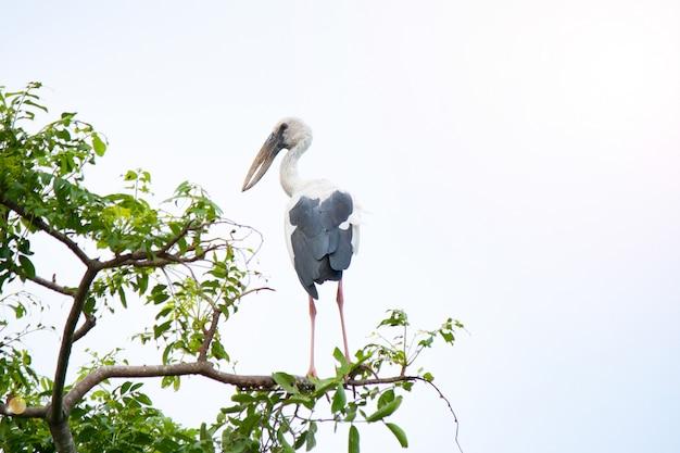 Anastomus oscitans鳥の枝とcopyspace