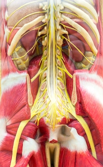 Anatomical model of human body, skeleton and muscular system.