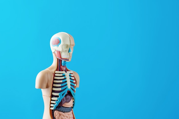 Anatomical model of human body with internal organs on a blue background. anatomy body mannequin