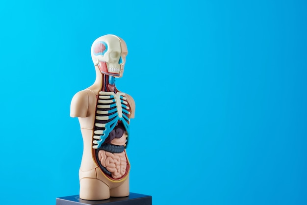 Anatomical model of human body with internal organs on a blue background.