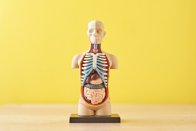 Anatomical model of human body with internal organs on a yellow background. anatomy body mannequin