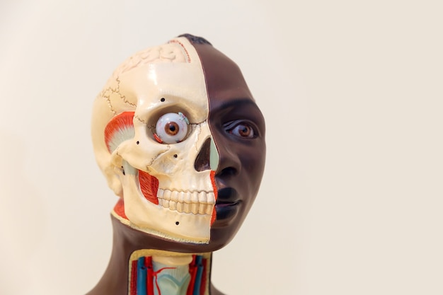 Anatomical model of human head, internal organs and muscular system. medical poster, medicine education concept