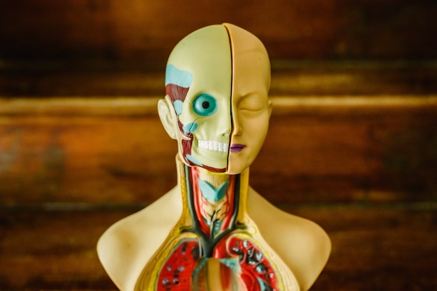 Анатомическая модель человеческого тела в пластике для изучения в классе или для врача.