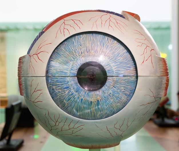 人間の目の解剖学的プラモデル、クローズアップ。医療スタンド、眼球教育コンセプト