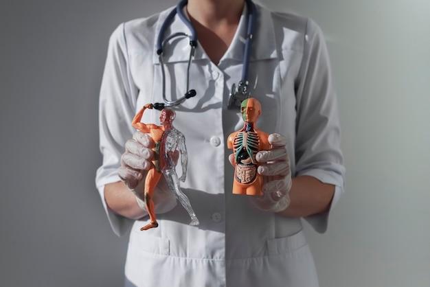 의사의 손에 해부학 연구 개념 인체 모델