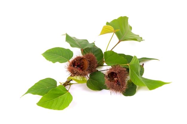 アナトーの木の果実、種子、緑の葉が白い背景で隔離。