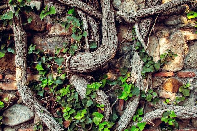 木の根、背景を持つ古代のレンガの壁