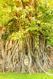 Ancient buddha head in tree roots at wat mahathat in ayutthaya historical park,thailand.