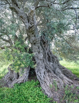 Ancient olive tree with hollow trunk and deformed bark