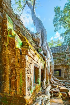 Ancient ruins of ta prohm temple twined around by giant roots in the angkor wat, cambodia