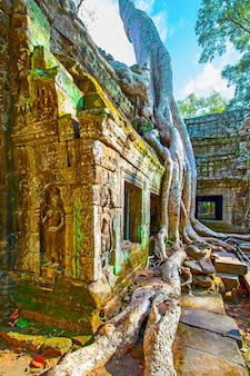 Ancient ruins of ta prohm temple twined around by giant roots in the angkor wat in cambodia