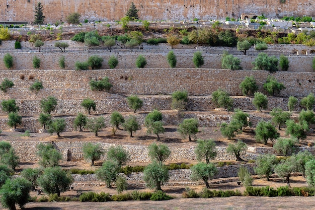 Ancient terraces of the kidron valley with beautiful olive trees growing on them in old city in jerusalem, israel