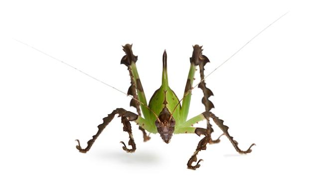 Кузнечик, малазийский лист катидид, ancylecha фенестрата,