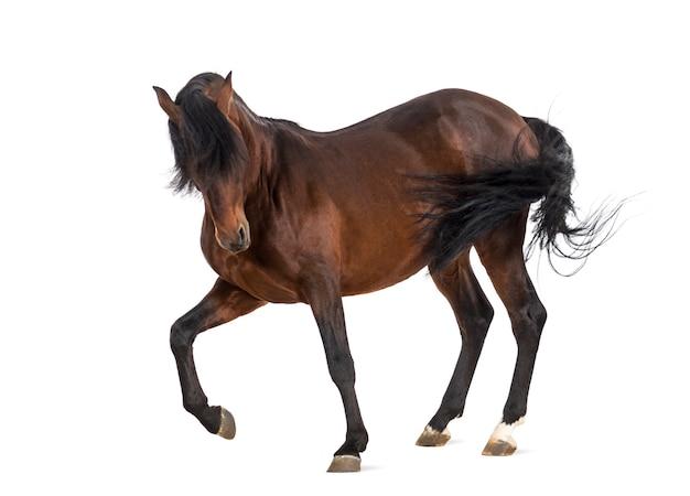 Андалузская лошадь рысью