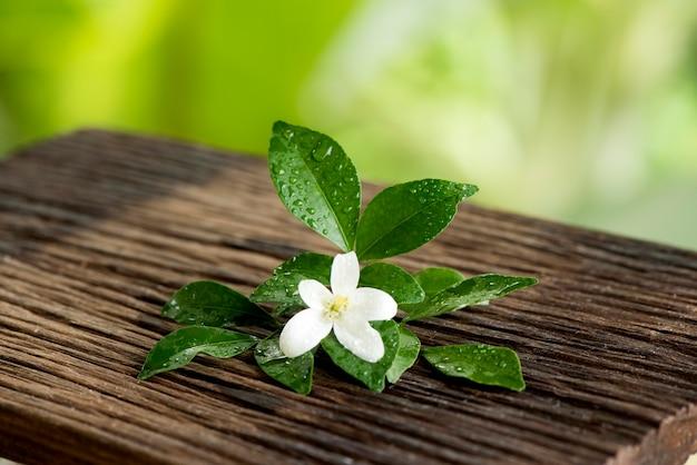アンダマンサテンウッドまたはムラヤパニクラタの花が自然に咲きます。