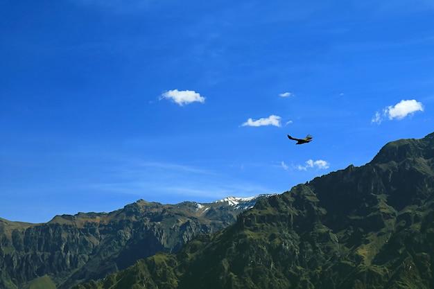 페루 아레 키파 지역 콜카 협곡 위를 날고있는 안데스 콘도르