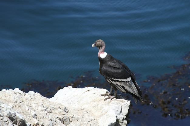 Andean condor on rocky coastline
