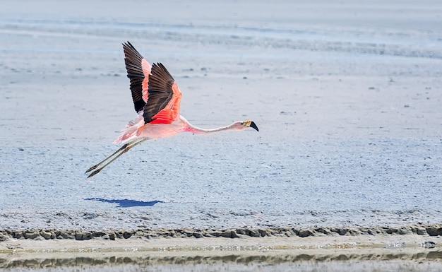 アンデスフラミンゴは湖の乾燥した塩の表面を飛びます。ラグナホンダ、ボリビア