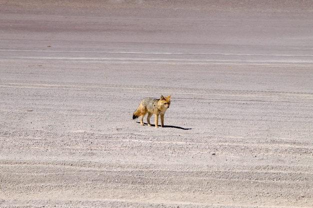 Andean fox from bolivia. bolivian wildlife