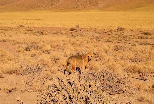 Андский лис украшает предгорье пустыни атакама национальный заповедник лос фламенкос чили