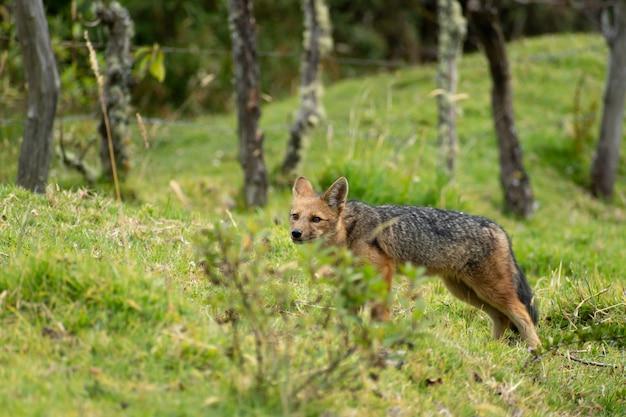 Andean fox walking in the mountains of ecuador