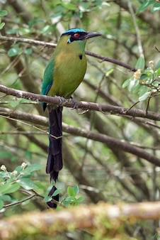 Андский момот momotus aequatorialis красивая и красочная птица, спокойно отдыхающая на дереве