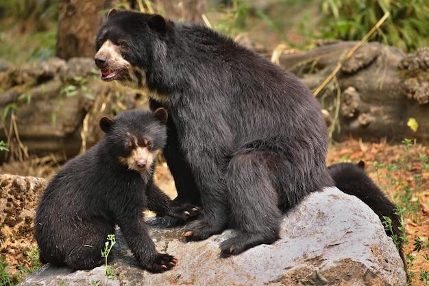 Андские или очковые медведи tremarctos ornatus