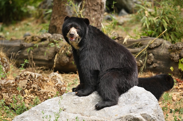 Andean or spectacled bears tremarctos ornatus