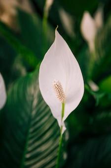 白いアンスリウムandreanum花のクローズアップ