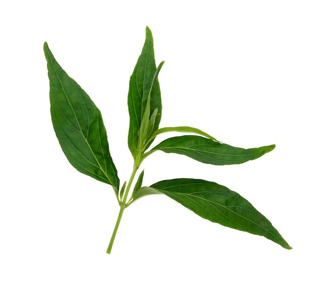 Andrographis paniculata植物に白背景